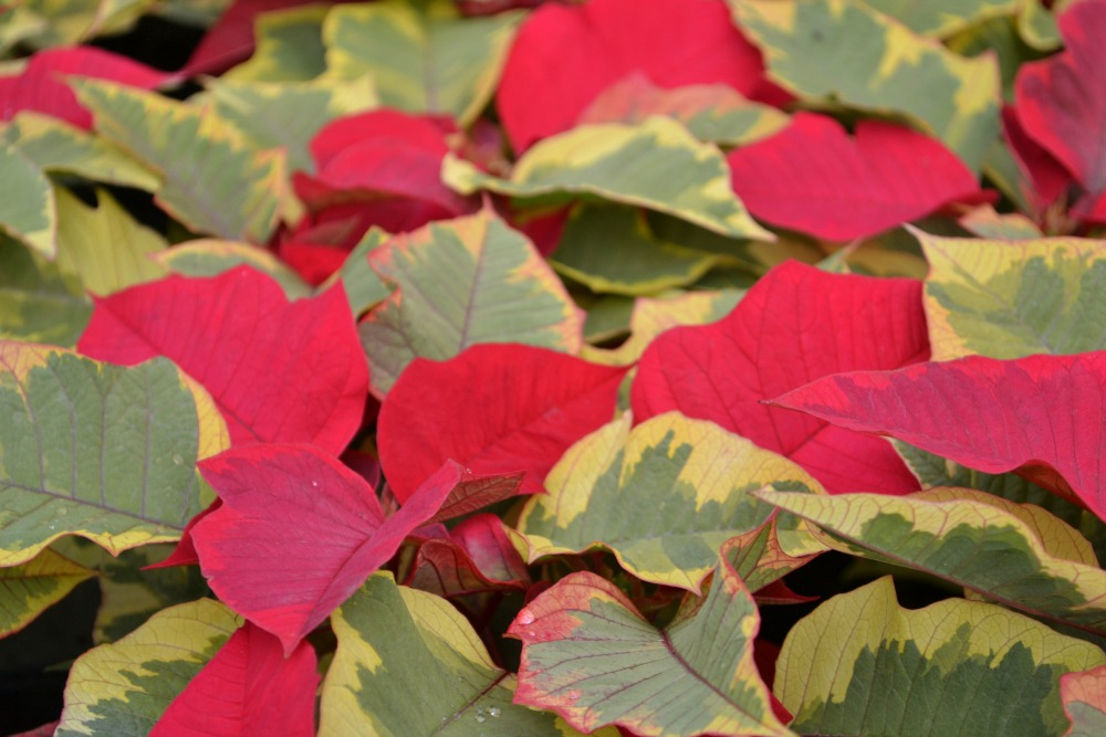 poinsettia green variegated