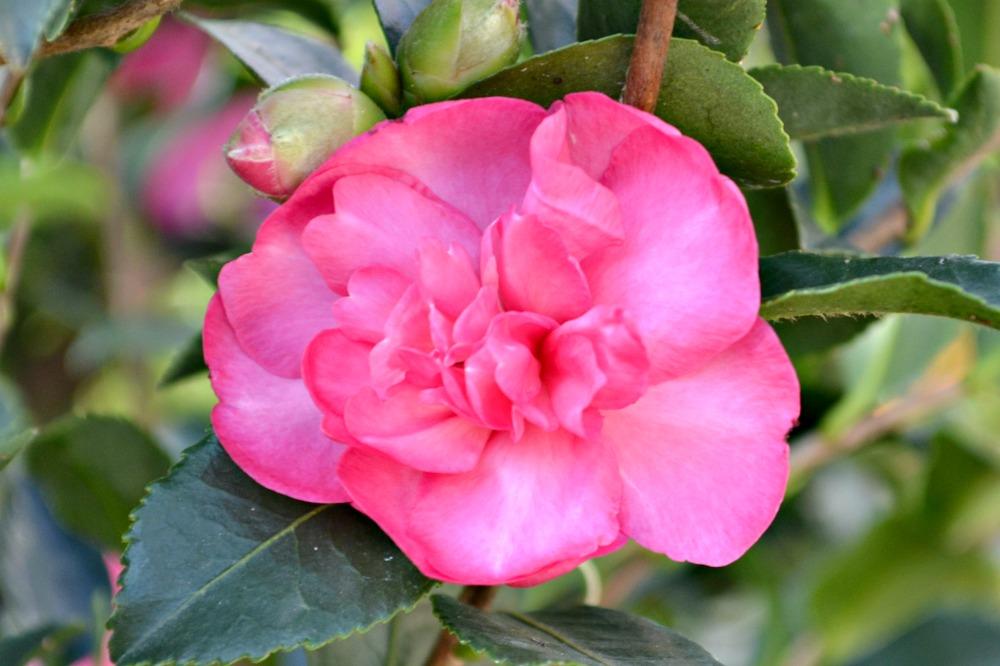 camellia-burgundy-sparkle-sm