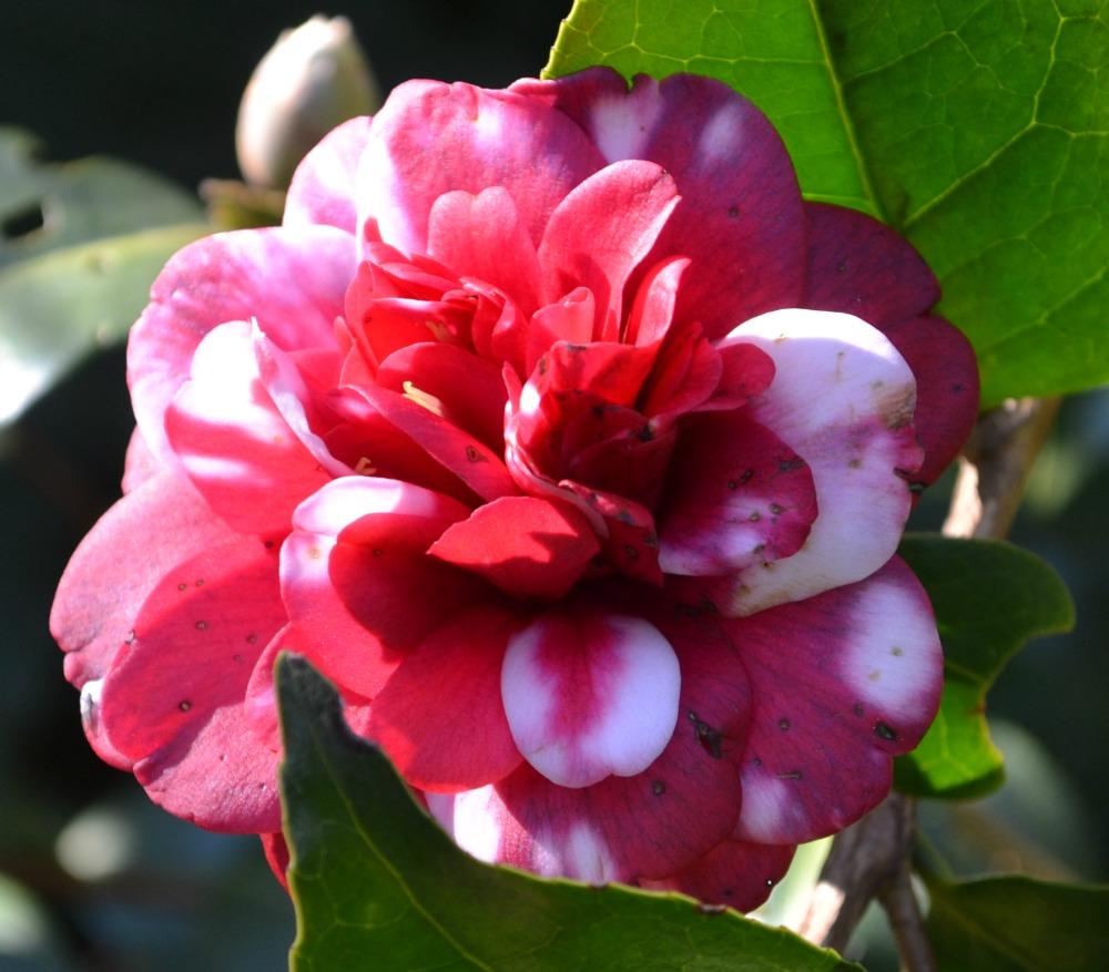 camellia-jap