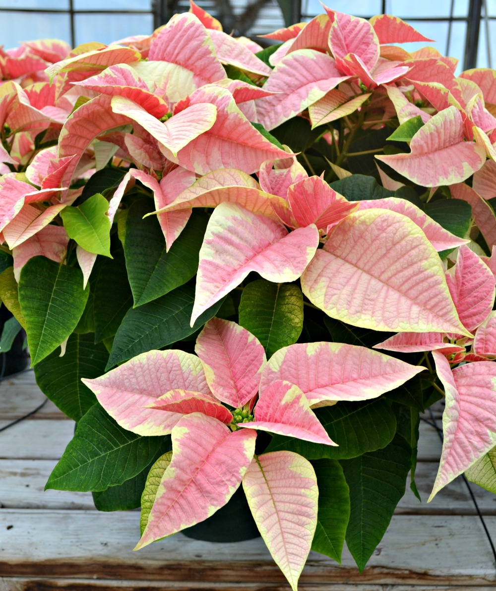 Peterstar Marble Poinsettia
