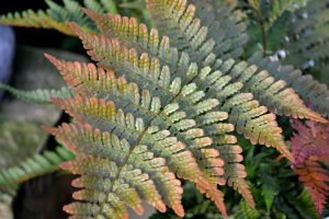autumn-fern-color