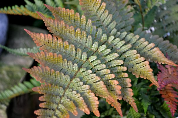 autumn-fern-color