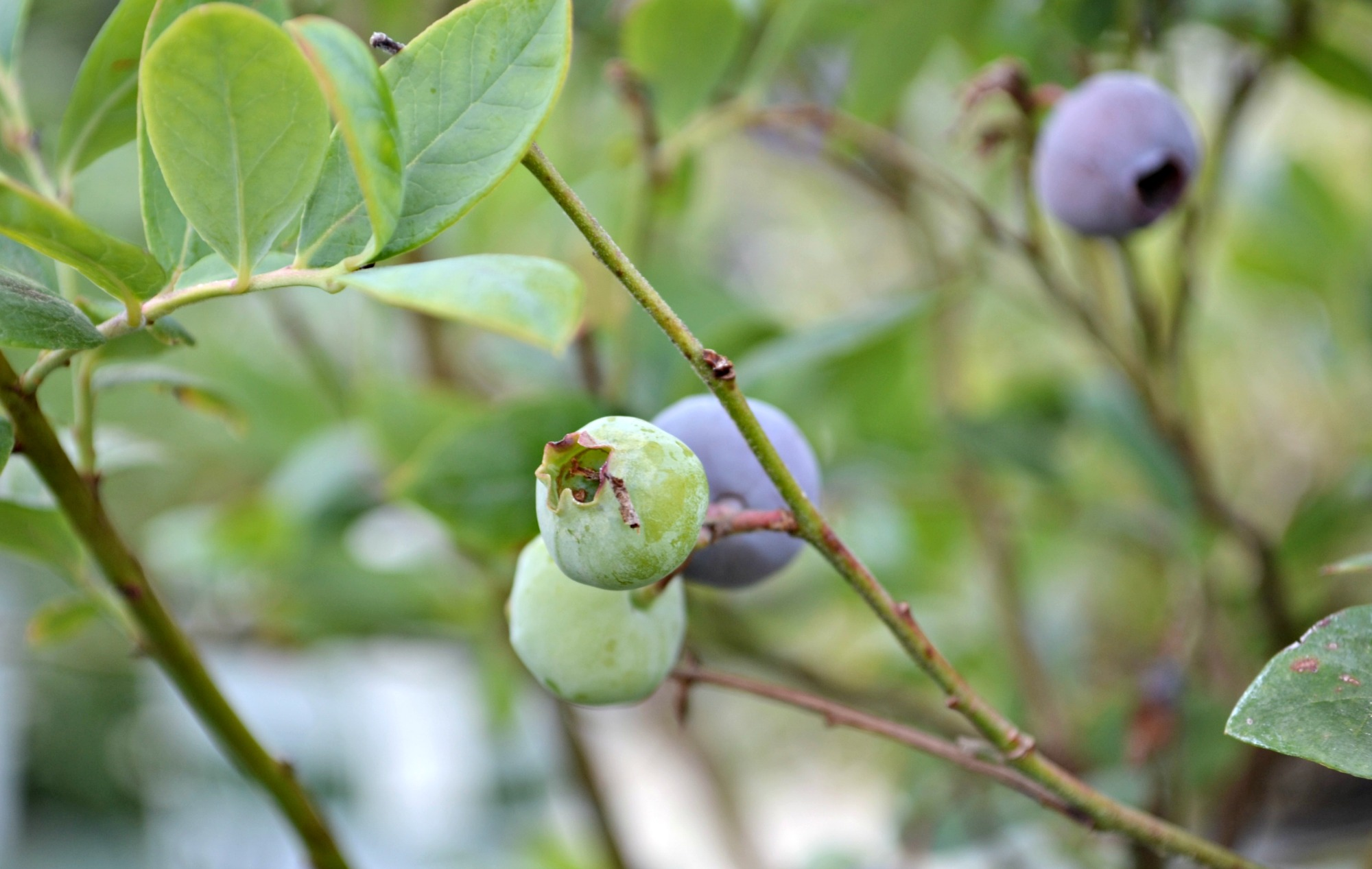 blueberry ripening