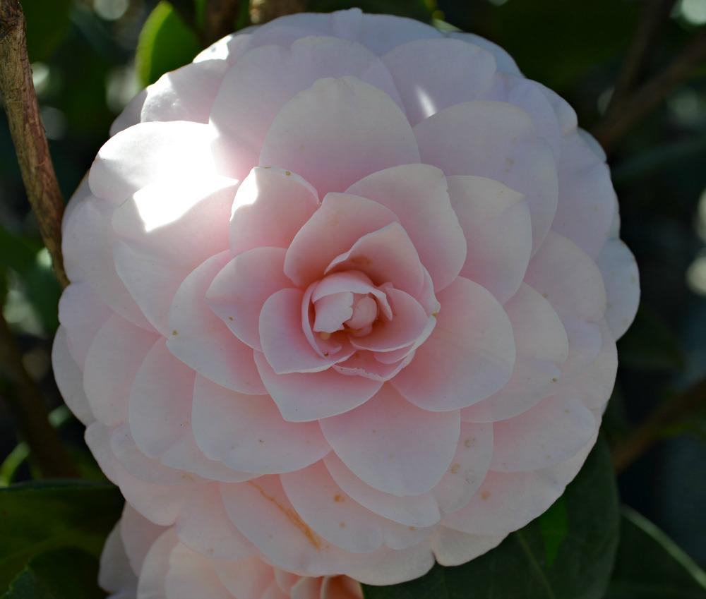 camellia-japonica-pink