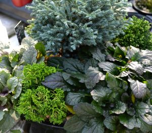 container-garden-mini-ajuga-evergreen