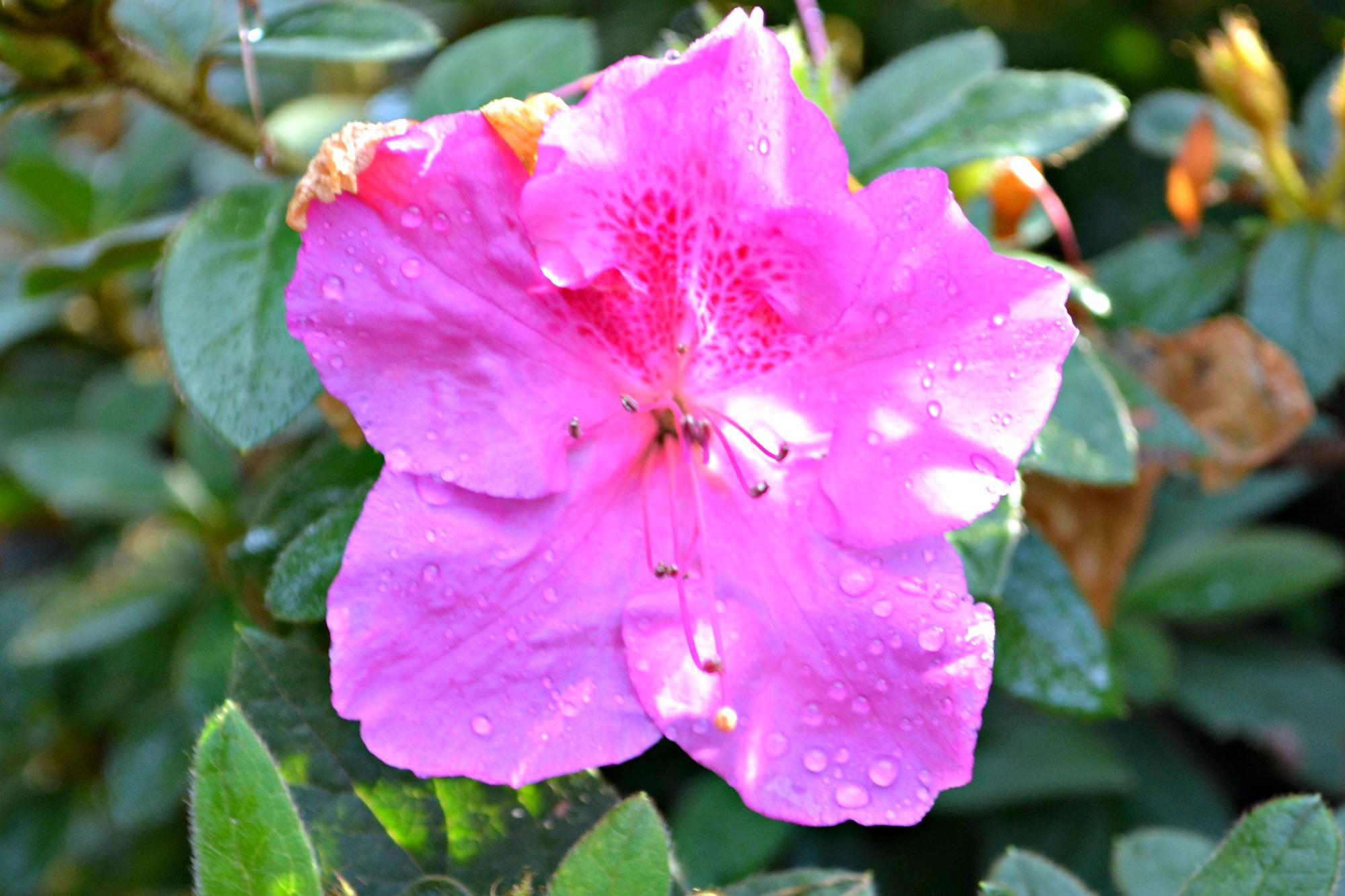encore azalea purple
