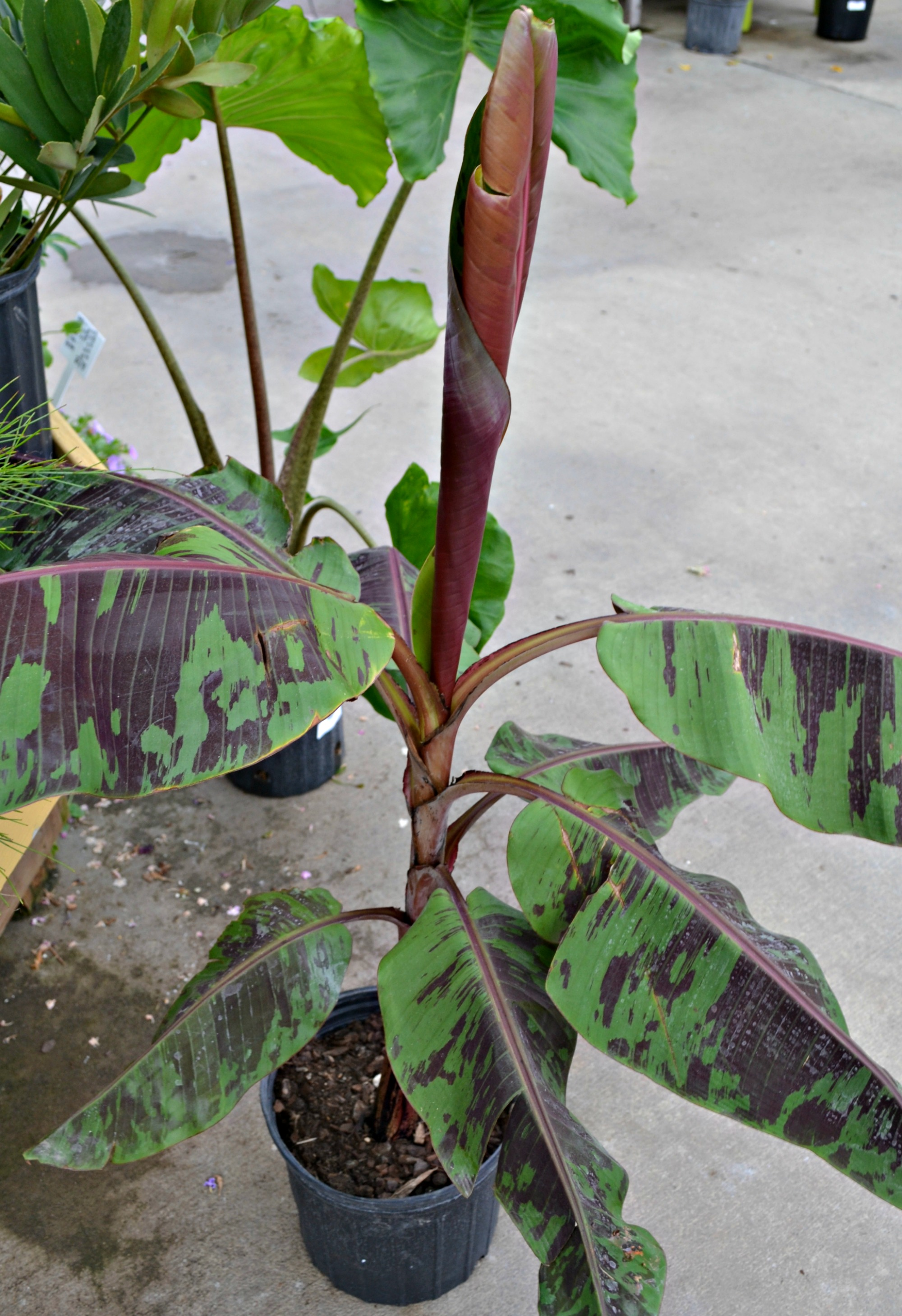 Flowers that like sun and moist soil - Although This Plant Is Considered A Banana Tree It Does Not Flower Or Bear Fruit Like Other Banana Trees It Doesn T Get As Tall As Most Bananas Either