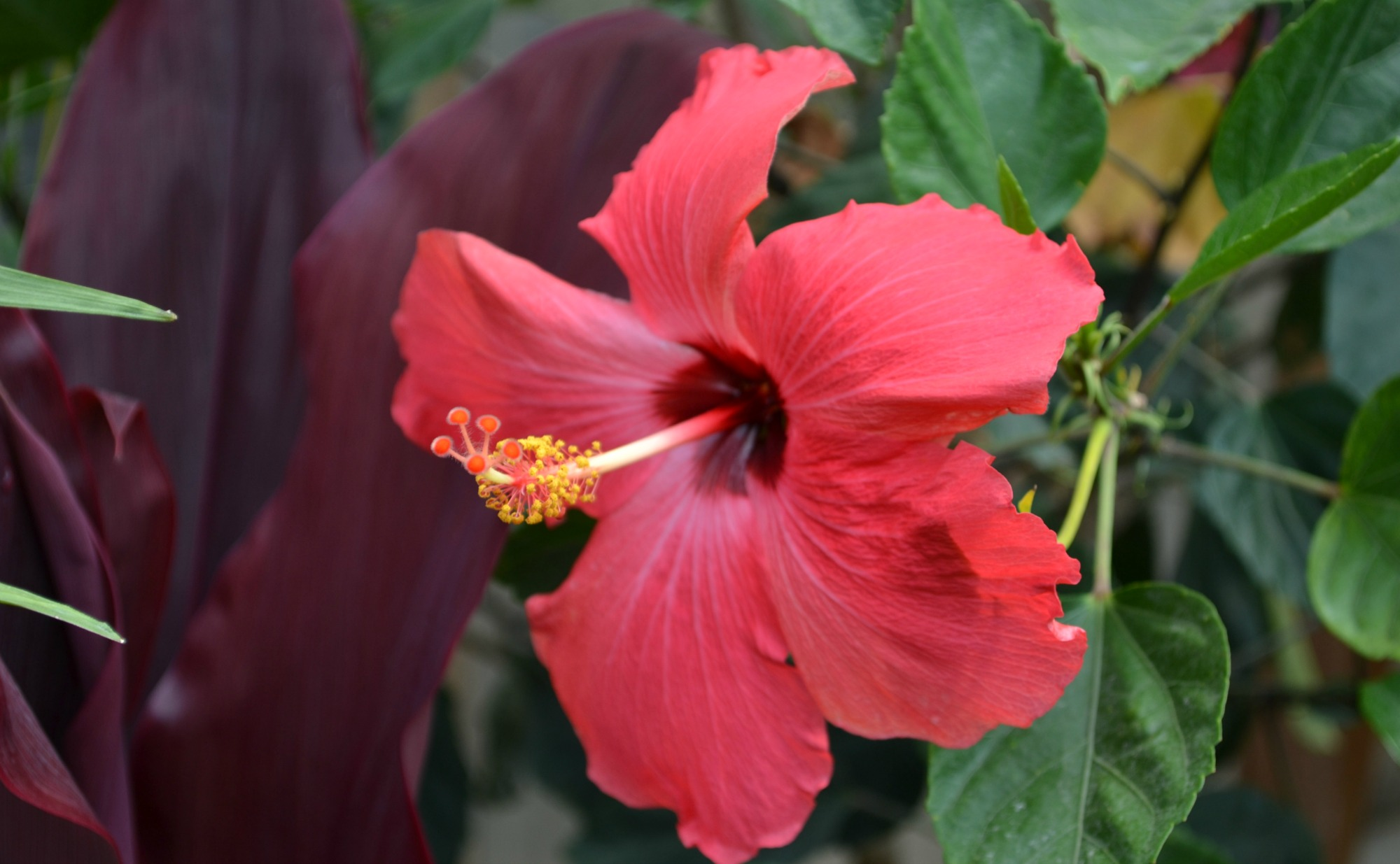hibiscus deep pink purple