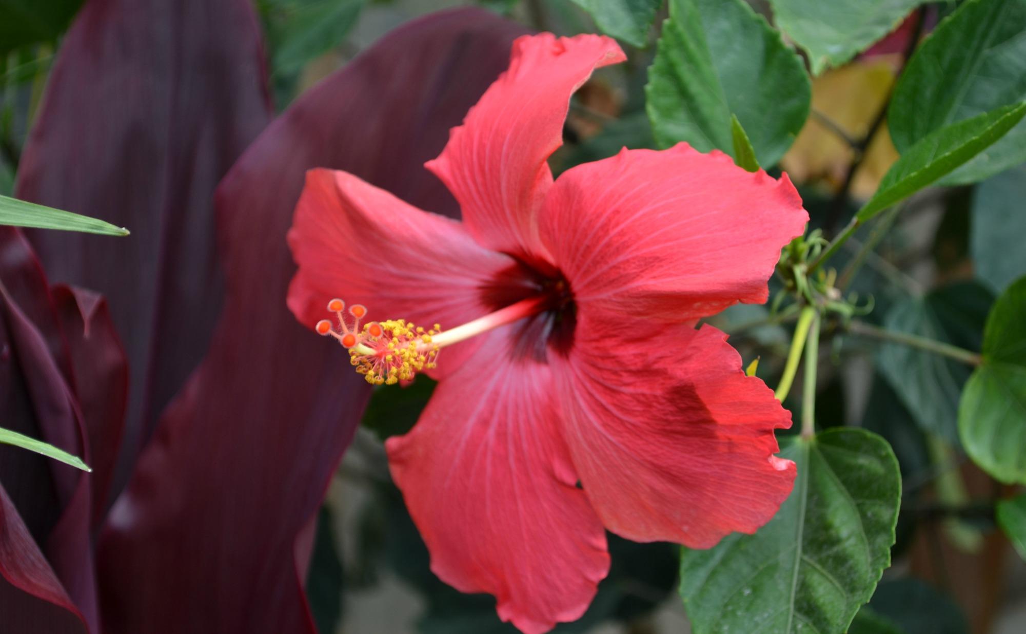 Purple Hibiscus Backyard Snob : Pics Photos  Deep Pink Hibiscus Deep Pink Hibiscus Flower Tropical