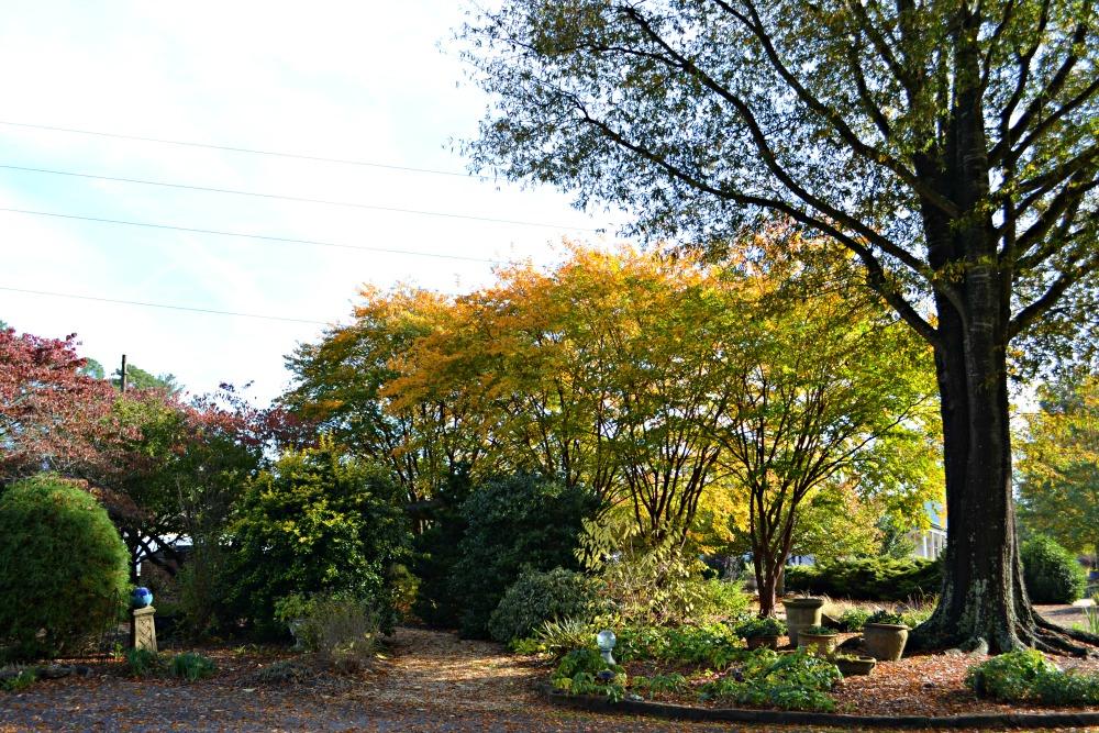 oak crepe myrtle fall
