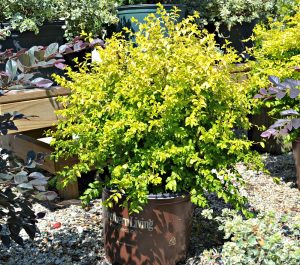 sunshine-ligustrum