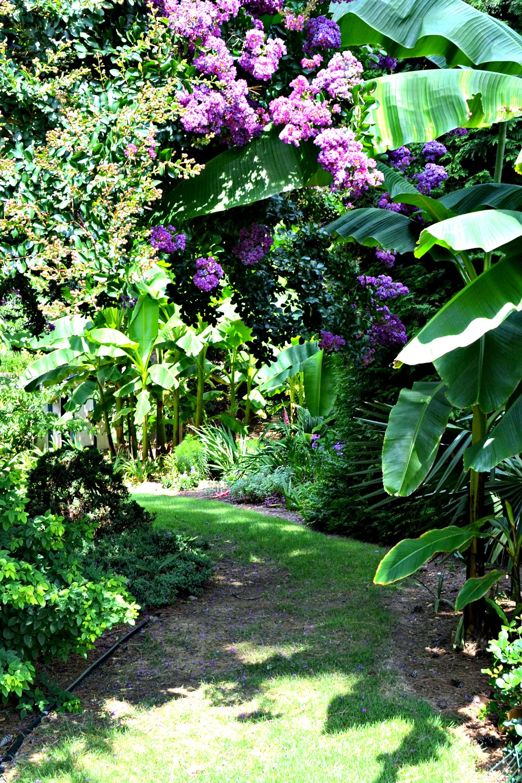 tropical path banana crepe myrtle