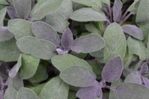 Purpleleaf Sage
