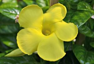 Mandevilla Yellow