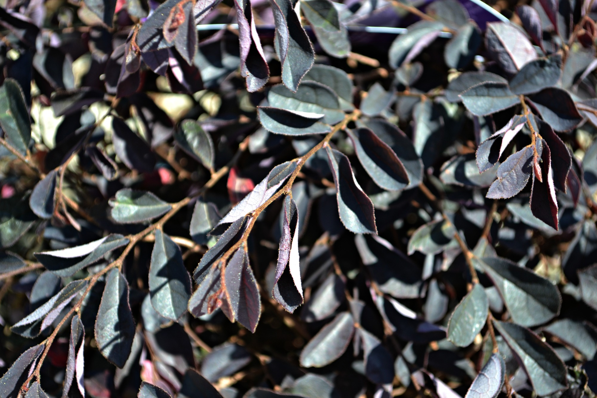 Arbustos florecientes de bajo crecimiento | Inicio Guías | Puerta SF