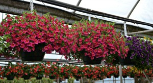 million bells begonia