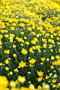 mum yellow
