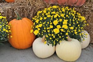 mums pumpkins