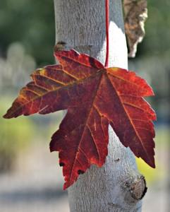 redpointe maple 2