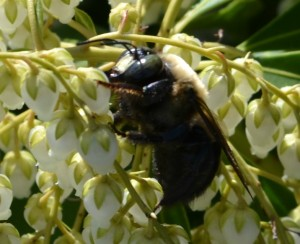 bee pieris 2