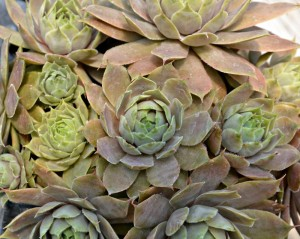 hen and chicks 1