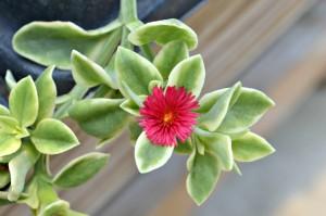 mezoo flower