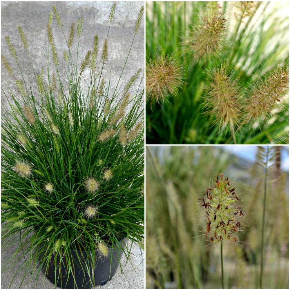 4 Great Grasses for your Garden | Fairview Garden Center