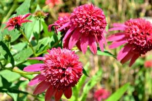 echinacea double