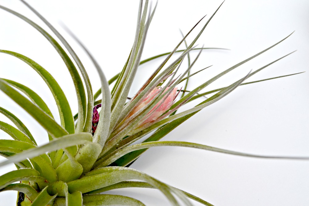 air plant side