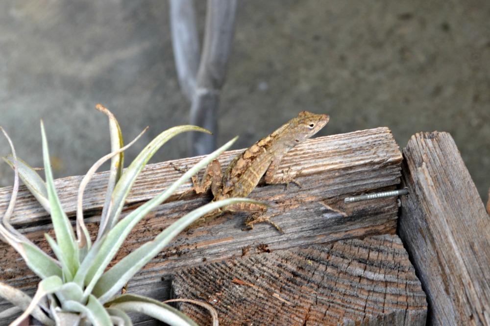 lizard air plant