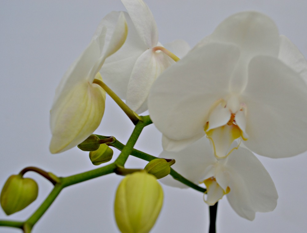 orchid centerpiece white