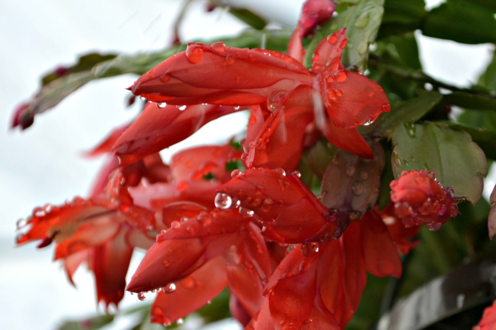 When To Water Christmas Cactus 28 Images A Christmas