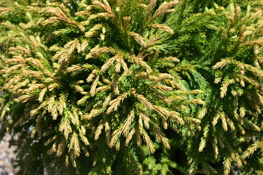 Globosa-Nana-Foliage