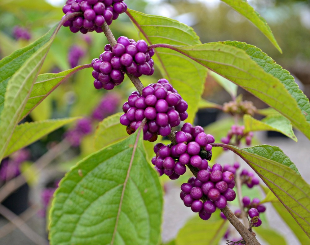 american-beautyberry-1