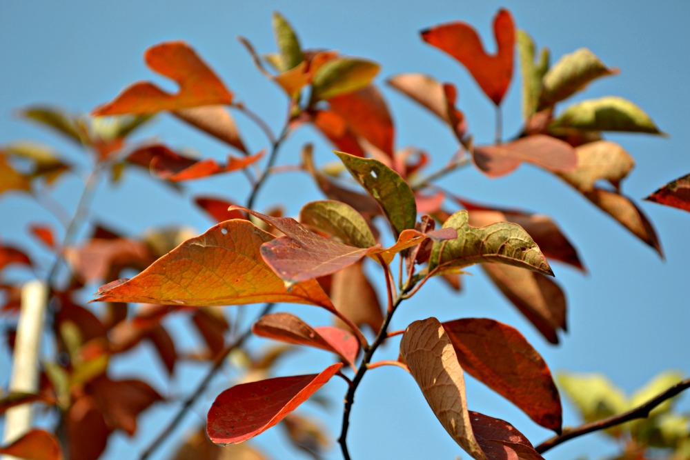 fall-color-crepe-myrtle