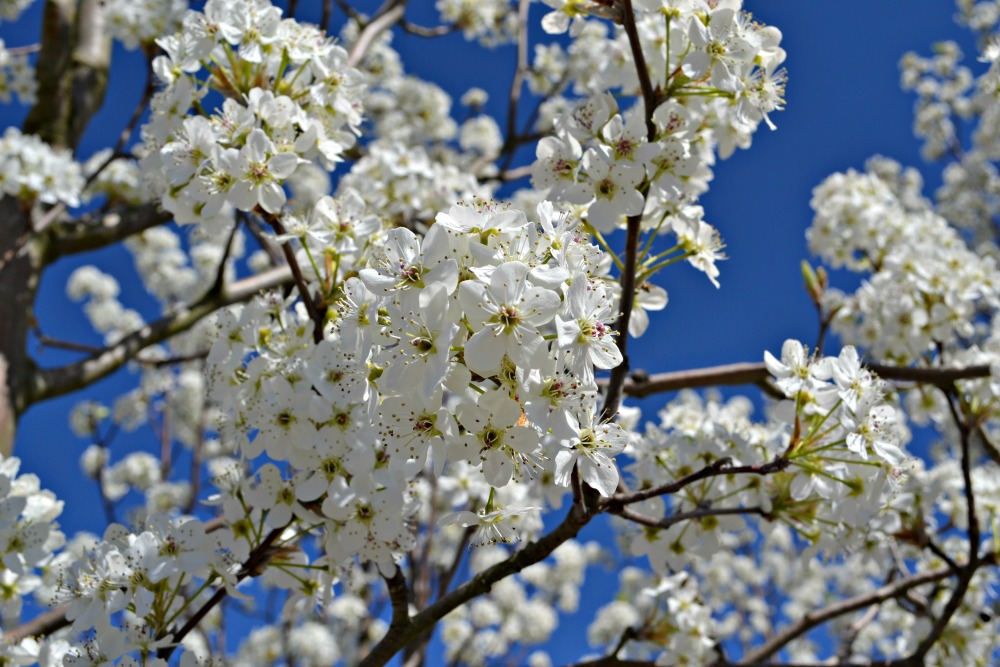 Trees shrubs that bloom in early spring holmford flowering pear mightylinksfo Gallery