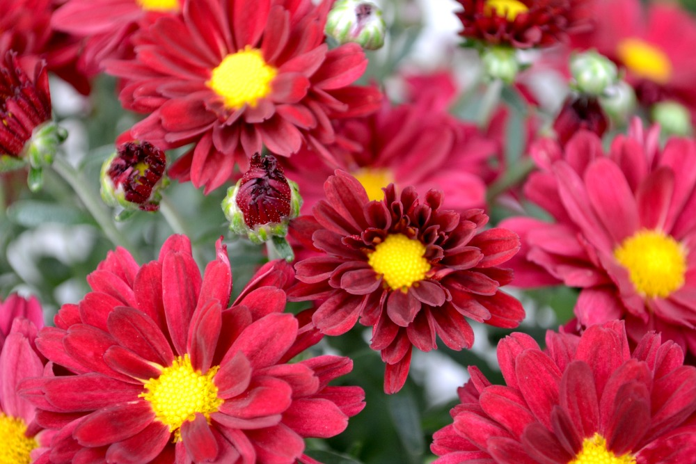 mum red with yellow - Garden Mum
