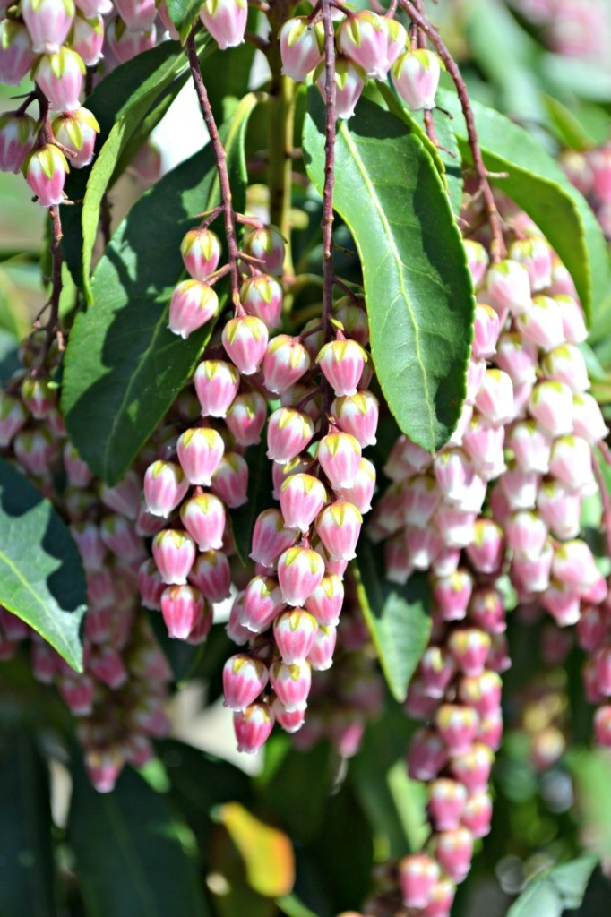 Trees shrubs that bloom in early spring pieris pink 682x1024 mightylinksfo Image collections