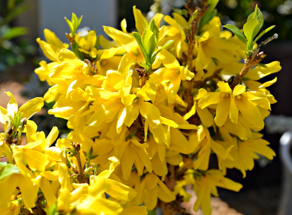 trees  shrubs that bloom in early spring, Natural flower