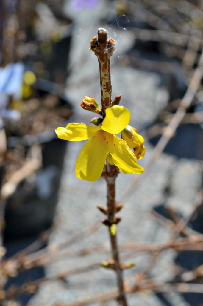 showy-borders-forsythia-682x1024