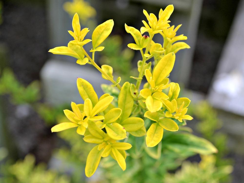 sunglo jasmine