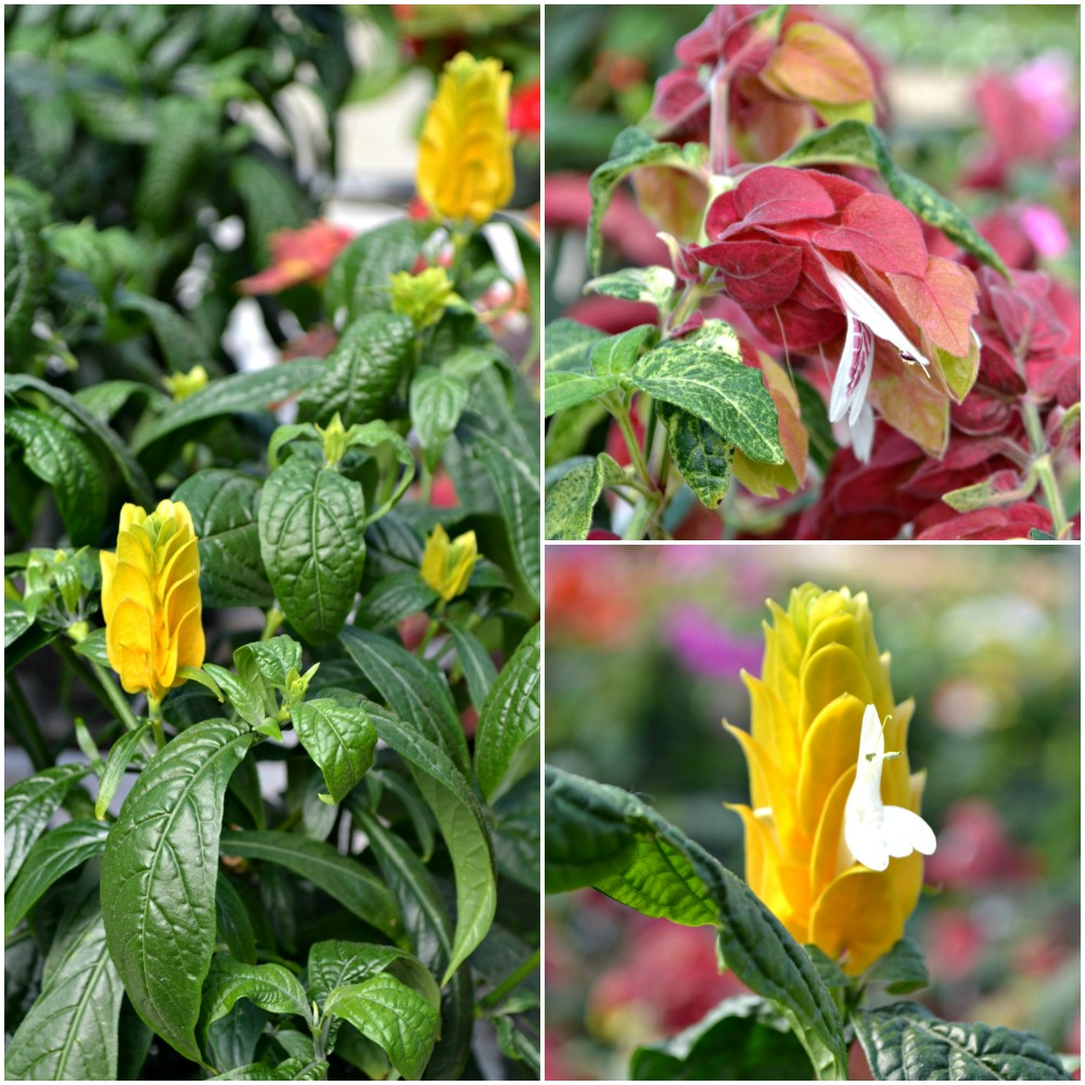 Shrimp Plant Collage