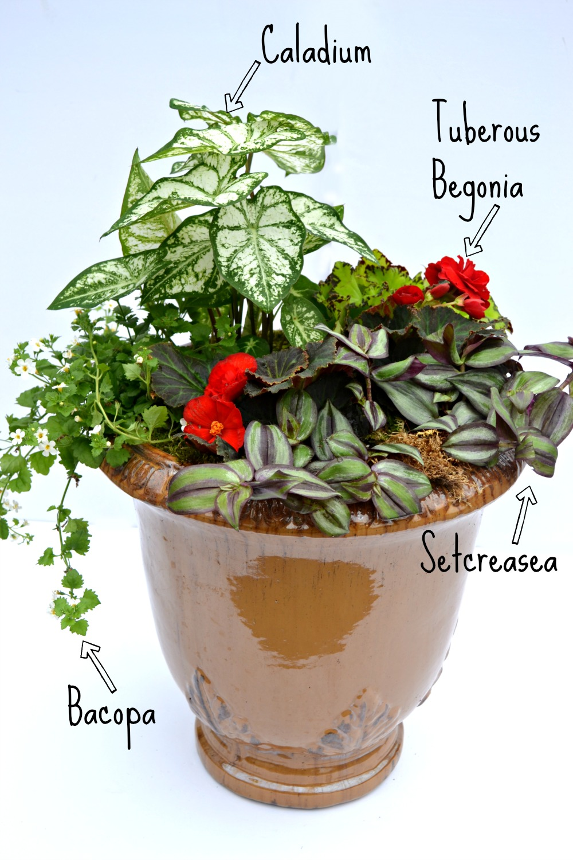 container bo caladium begonia bacopa setcreasea