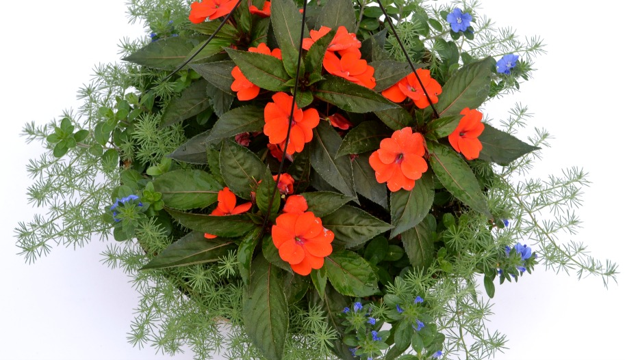 container combo close sunpatiens lotus blue daze