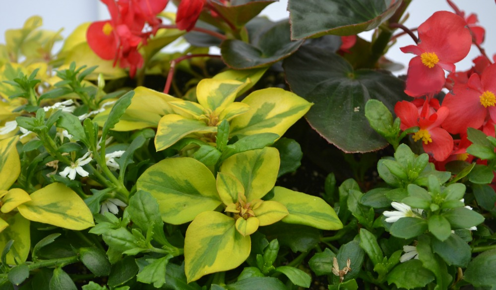 container combo lys begonia scaevola close