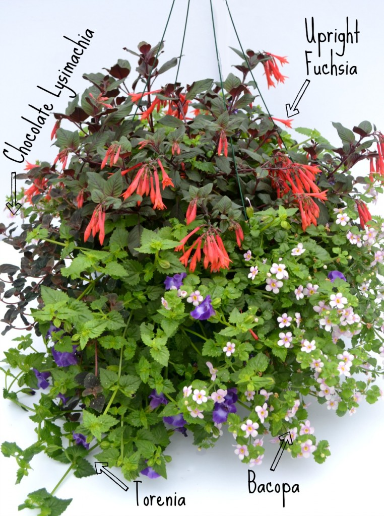container combo upright fuchsia torenia bacopa