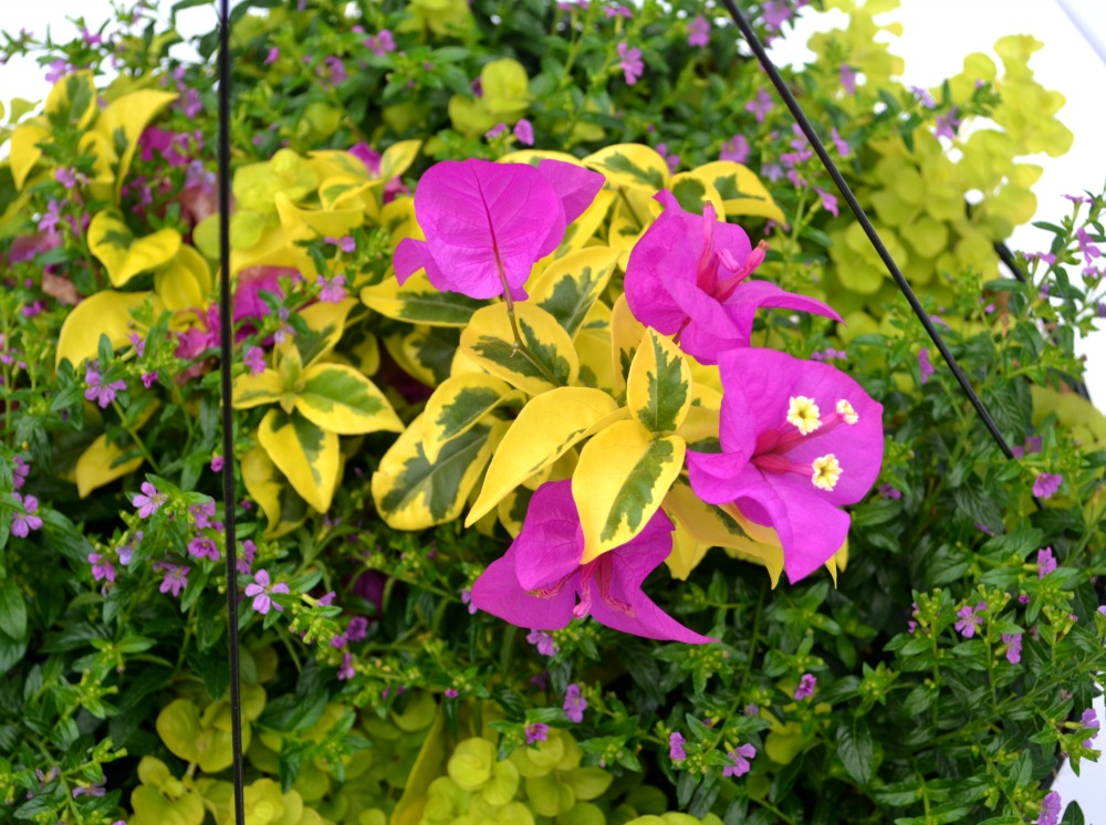 contianer basket combo bougainvillea close