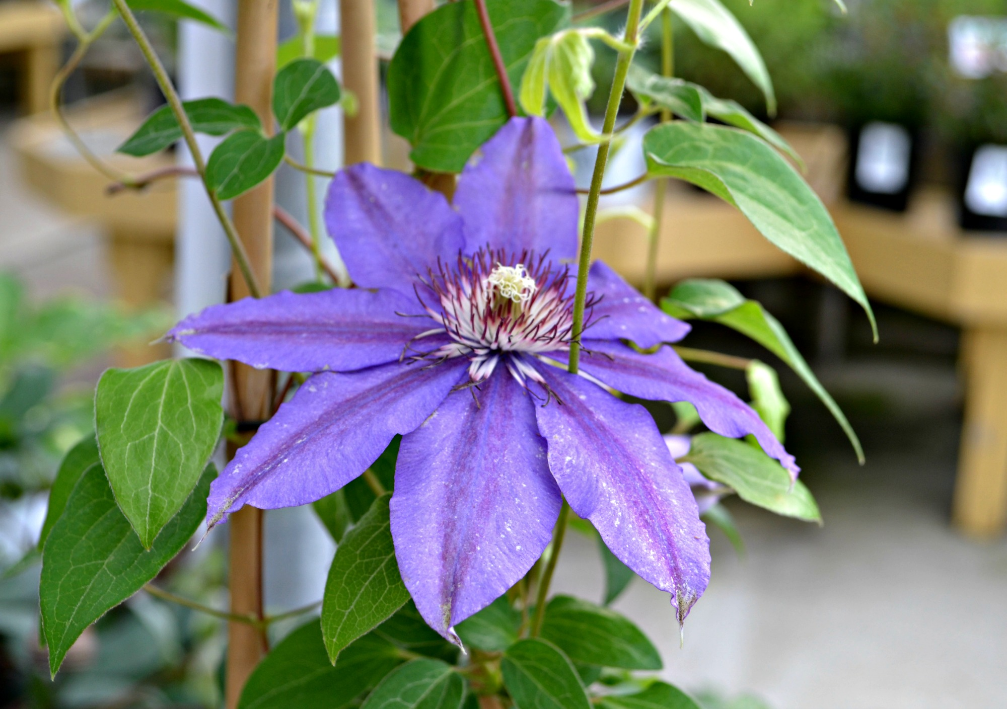 clematis vancouver starry nights