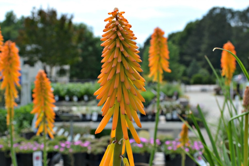 kniphofia close