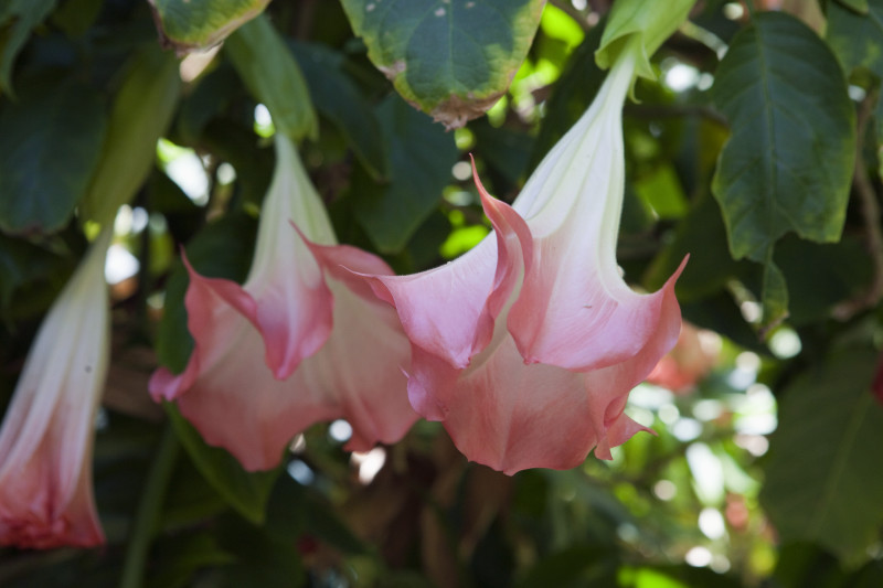 white-and-pink-angels-trumpet-flower_medium